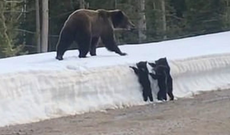 Don't Mess With Mama: Watch As Grizzly Bear Charges At Car When Driver Slows Down To Look At Her Cubs